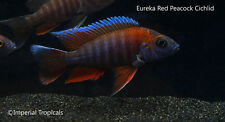 "3"" Male Eureka Red Peacock Aulonocara Lake Malawi African Cichlid Live Fish"