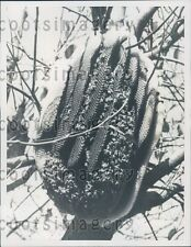1958 Bees & Honeycomb in Pear Tree Press Photo