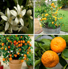 Rare Orange Bonsai , Heirloom Fruit 5 Seeds, Home Bonsai plant seeds