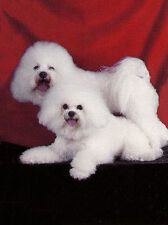 BICHON FRISE CHARMING DOG GREETINGS NOTE CARD TWO BEAUTIFUL DOGS