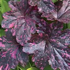 HEUCHERA 'MIDNIGHT ROSE' Dark Burgundy Speckled Pink Foliage - PLUG PLANT