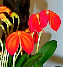 MASDEVALLIA species RED STRIPES orchidee orchidee