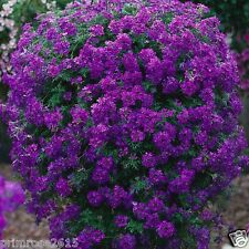 Rare Trailling /Verbena Endurascape Purple  , blue hanging flowers 20 seeds
