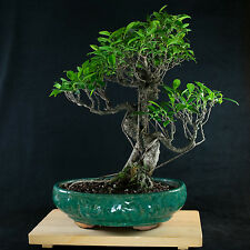 Amazing Large Taiwanese Ficus Bonsai Tree - Tiger Bark  #  1490