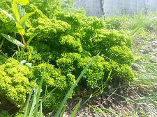 Perejil mooskrause - 200 semillas-Petroselinum crispum Krause gekräuselte