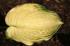 HOSTA ROSEDALE GOLDEN GOOSE  - 20 SEEDS