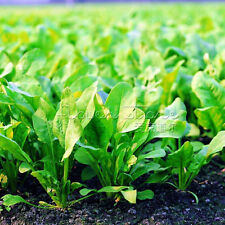 """400Spinach """"Bloomsdale Long Standing"""" Seeds HEIRLOOM NON GMO TT079"""