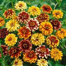 Zinnia-(mexican) Persian Carpet Mix- 100 Seeds- 50 % off sale