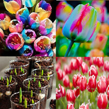 5x world rare rainbow tulip bulbs seeds The most beautiful flower seeds Gift EY7