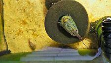 Triops Cancriformis Grün aus Spanien Urzeitkrebse inkl. Futter