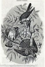 Antique bird print American Kestrel Sparrow Hawk falcon Falco sparverius 1854