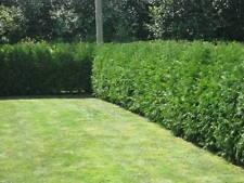 5 X Western Red Cedar - Thuja Plicata- Cell Grown - Better than Leylandii1ft