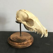 Small Animal Skull Display, Skull Not Included, For Bobcat Coyote Raccoon Fox