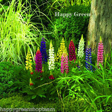 Russell Lupin MIX-Lupinus polyphyllus - 60 Semi-Fiore perenne