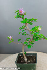 "Lavender star flower bonsai tree / long blooming season/strong growth / 4"" pot"