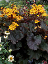 Neuf: lush Ligularia choix collection (leopard plant) mix graines
