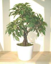 "Ficus Dwarf Tree - 17"" (44cm) - Imitation Replica Artificial Faux Silk Plant"