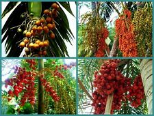 MIX PLAM SEED FRSH & VIABLE BETEL NUT FOX-TAIL GOLDEN CANE MACARTHUR EXO GARDEN