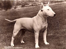 BULL TERRIER CHARMING DOG GREETINGS NOTE CARD BEAUTIFUL STANDING DOG