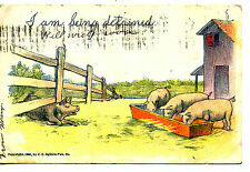 Farm Pigs Eat at Trough-Detained Stuck Under Fence-Vintage Greeting Postcard