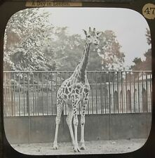 GIRAFFE LONDON ZOO VINTAGE MAGIC LANTERN SLIDE
