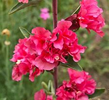 CLARKIA DOUBLE MIX - 4000 SEEDS - Clarkia elegans double - FLOWER