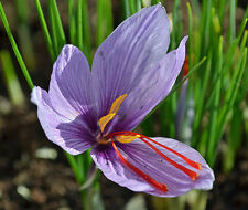 500 bulbs, Fall Blooming SAFFRON CROCUS Sativus; True saffron; Non-Chinese