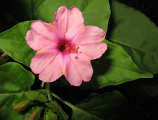 25 graines BELLE DE NUIT ROSE( Mirabilis Jalapa)X313 PINK FOUR O' CLOCK SEEDS
