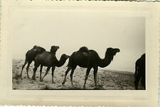 PHOTO ANCIENNE - VINTAGE SNAPSHOT - ANIMAL DROMADAIRE CHAMEAU MAGHREB - CAMEL