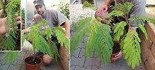 Schlafbaum bewegt schnell die Blätter Zimmerpflanze/ Weihnachtsgeschenk Geschenk