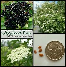 10 ELDERBERRY TREE SEEDS (Sambucus nigra) European Black Edible Fruit Deciduous