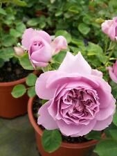 Love Song Light Lavender Rose 1 Gal Live Bush Plants Floribunda Plant Fine Roses
