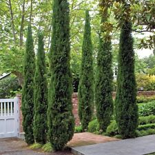 100 seeds of  ITALIAN CYPRESS Cupressus Sempervirens tree Tuscan hedge garden