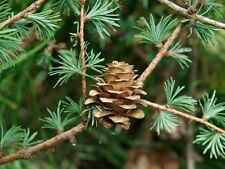 25 JAPANESE LARCH TREE Conifer Pine Cones Bonsai Larix Kaempferi Seeds *Comb S/H
