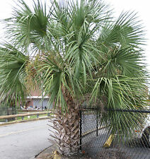 FLORIDA QUALITY SABAL PALMETTO PALM TREES COLD HARDY 10 F - 2 PACK