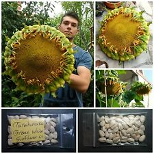 Giant Sunflower ''Tarahumara Great White'' ~50 Top Quality Seeds - EXTRA RARE