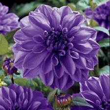 50 Semillas de Flor de Dahlia