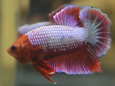 live betta fish- MALE - imported FANCY MONKEY FACED DRAGON HALFMOON PLAKAT