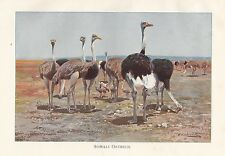 c1914 NATURAL HISTORY PRINT ~ SOMALI OSTRICH & YOUNG ~ LYDEKKER