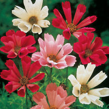 COSMOS SEA SHELLS Mixed Colors Flower Seeds (10 seeds)  F-073