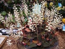 BIN- Ludisia discolor var. nigrescens (Black Velvet Jewel Orchid) Unique foliage