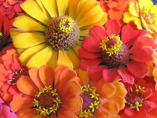 """75+ HEIRLOOM ANNUAL FLOWER SEED - ZINNIA  """"SOUTHERN SUNSET"""" ORANGE, RED + YELLOW"""