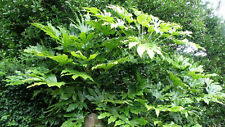 3 HARDY Fatsia japonica potted Seaside Wildlife hedge Gorgeous Evergreen Shrub