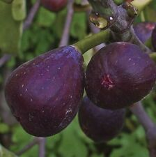 Violette De Bordeaux Fig tree Cuttings, 2 Cuttings, Fig cuttings, Zone 5 to 10