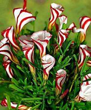 20 semillas Oxalis versicolor flores raras para jardín