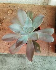 "Graptoveria "" Fred Ives """