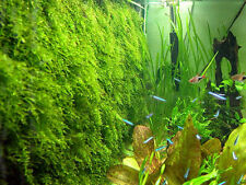 Xmas Moss - Live Aquarium Plant Java Fish Tank Fern Aquatic Seed Garden Pond A7