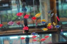 GloFish Tetra - Assorted - Gorgeous Freshwater Tropical Fish - Glo-Fish