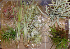 Air Plant Collection - 10 Different Tillandsia Bromeliad House Plant