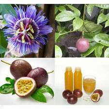 10 SEEDS Exotic Passion Fruit Passion Passiflora Edulis Seed Cooking Salad